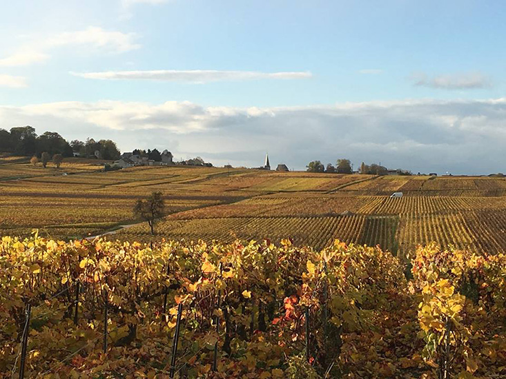 The Soutiran's sprawling vineyards in the fall. The vines are yellow, red and orange in the foreground, with a bright blue, fluffy cloud-filled sky on the horizon.